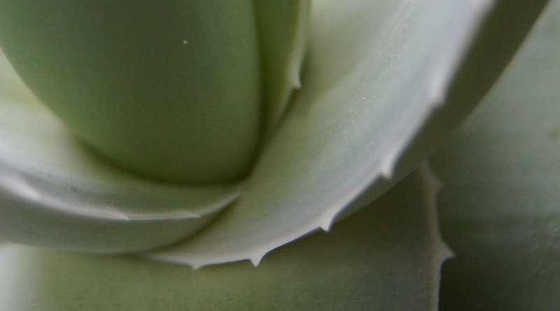 Aloe vera close up thumbnail